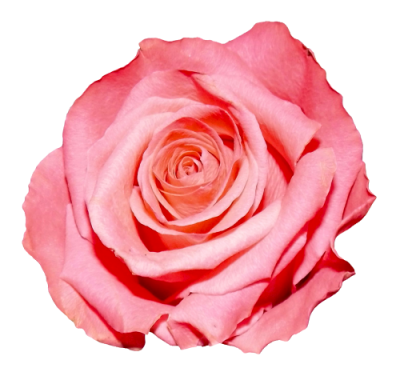 Rose Free Download Png