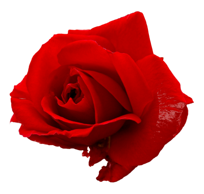 Rose Flower Red Hd Photo