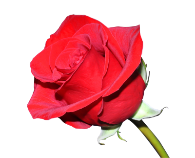 Rose Clipart Photo