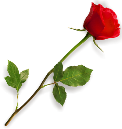 Rose Flowers Hd Photo PNG Images