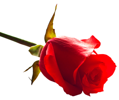 Floral Rose Picture Images PNG Images