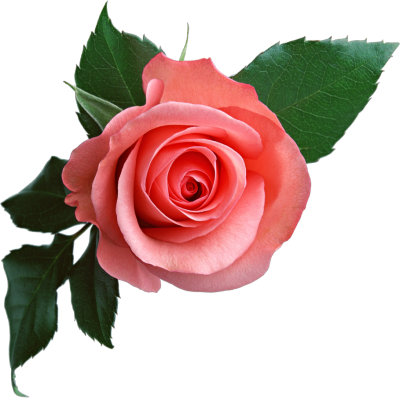 Pink Rose Flower Png