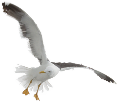 Seagull Transparent Image PNG Images