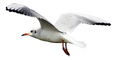 Seagull Background PNG Images