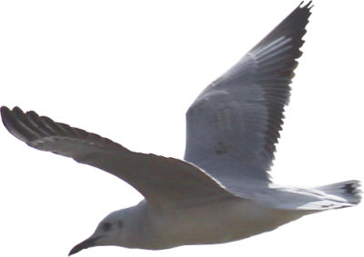 Seagull Free Transparent Png PNG Images