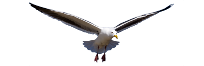 Seagull Free Download PNG Images