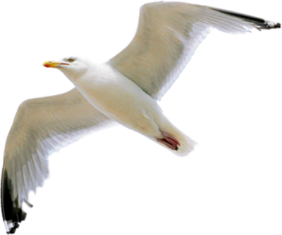 Seagull Free Download Transparent PNG Images