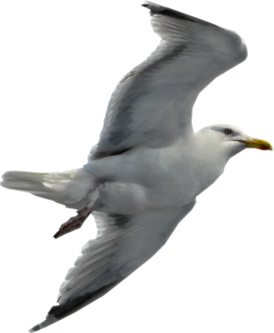 Seagull Cut Out Png PNG Images