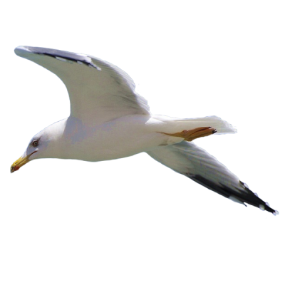 Seagull Clipart Photo PNG Images