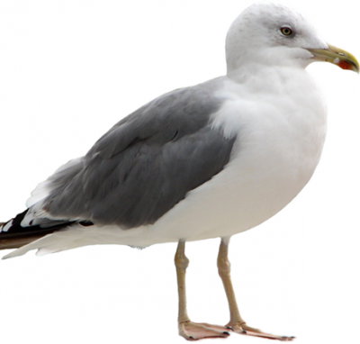 Seagull PNG Picture PNG Images