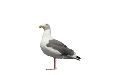 Seagull High Quality PNG PNG Images
