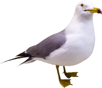 Seagull Images PNG PNG Images