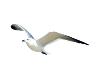 Seagull Picture PNG Images
