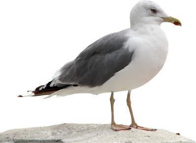 Seagull Transparent Background PNG Images