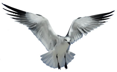Seagull HD Photo Png PNG Images