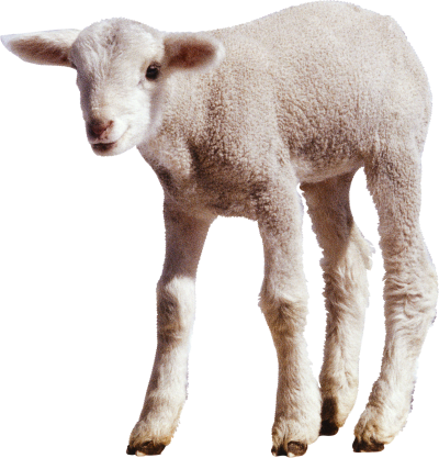 Sheep Images PNG PNG Images