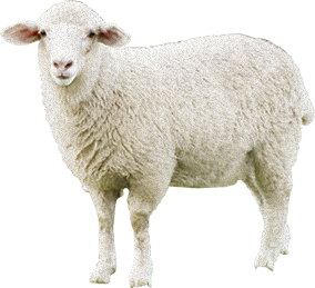 Sheep Amazing Image Download PNG Images