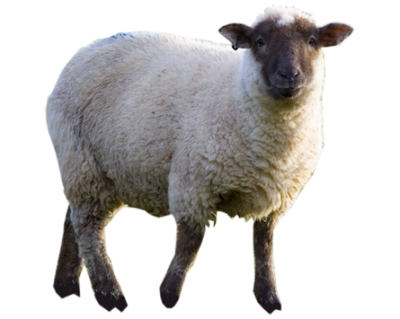 Sheep Wonderful Picture Images PNG Images