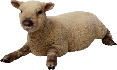 Sheep Picture PNG Images