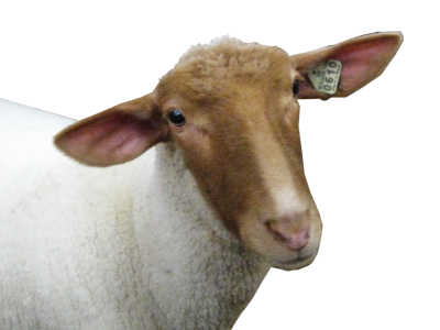 Sheep Png PNG Images