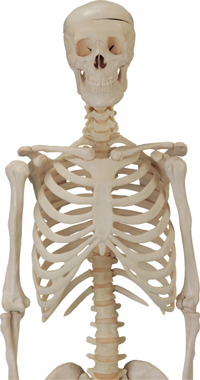 Skeleton Head Transparent Background
