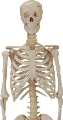 Human Skeleton Hd Image