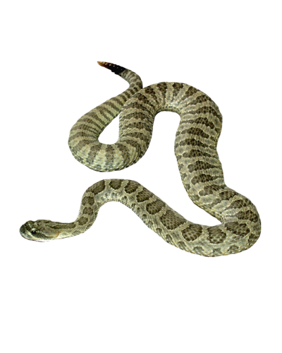 Snake Clipart Transparent
