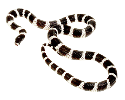 Snake Free Download Transparent PNG Images