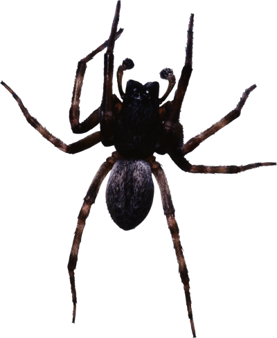 Pictures Of Big Black Spider PNG Images