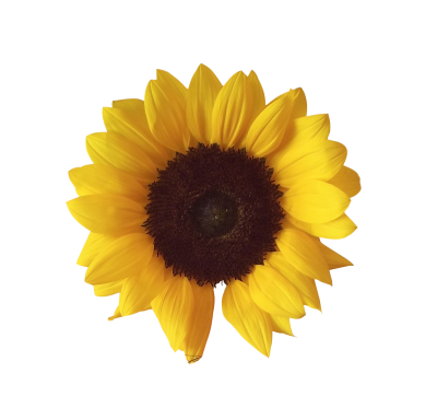 Beautiful Sunflower Head Clipart Transparent Png PNG Images
