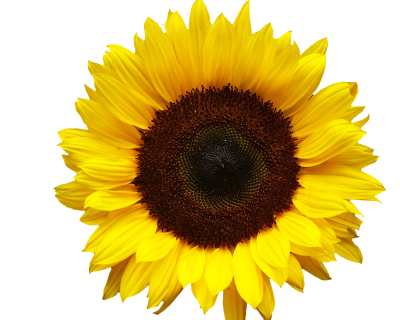 Big Sunflower Head Photos Transparent Png PNG Images