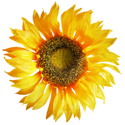 High Quality Yellow Sunflower Png Free Download PNG Images