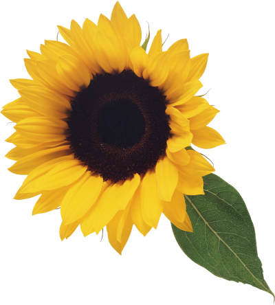 Leafy Sunflower Transparent images PNG Images