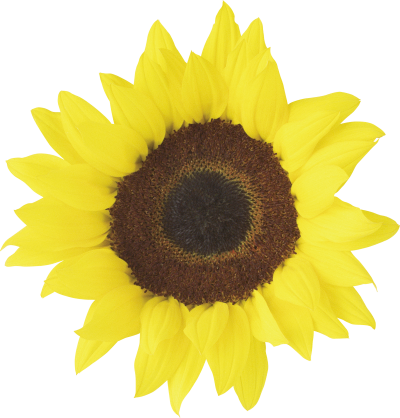 Light Yellow Sunflower Background Transparent Png PNG Images
