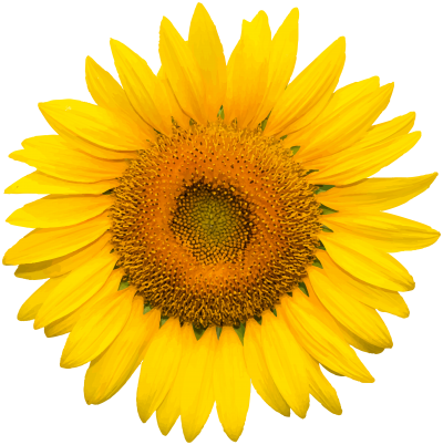 Natural, Flowers, Nature, Plant, High Quality Yellow Sunflower Hd Png PNG Images