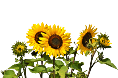 Natural, Flowers, Nature, Plant, Real Sunflower Png image PNG Images