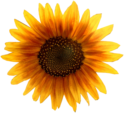 Oil, Sun, Seed, Dark Yellow Sunflower Transparent Png PNG Images