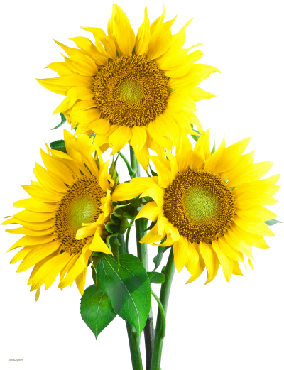 Real Great Sunflower Background Png Transparent PNG Images