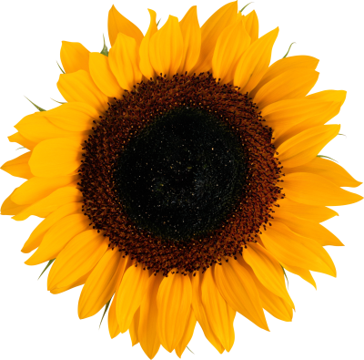 Seeded Orange Sunflower images Download PNG Images