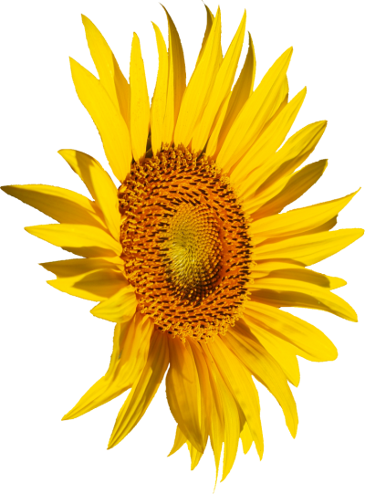 Side View Yellow Sunflower Clipart Transparent PNG Images