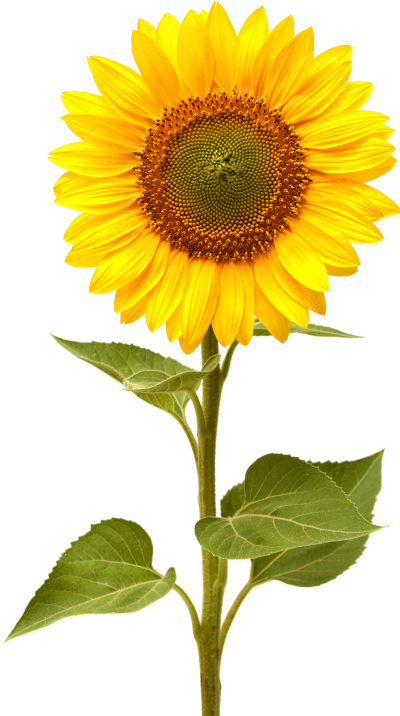Single Nature Sunflower Png Photos Download PNG Images