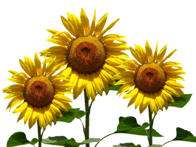 Sun Summer Sunflower Hd Transparent PNG Images