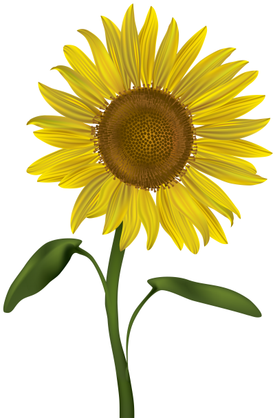 Sunflower Original Clipart Download PNG Images
