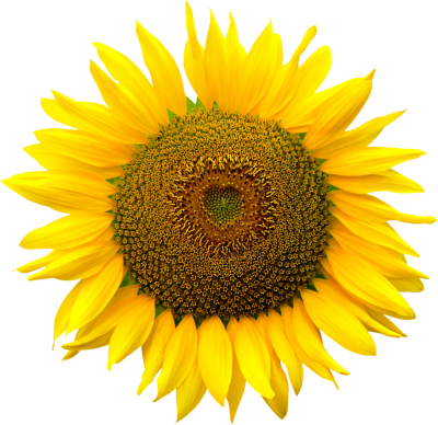 Sunflower Seed Background Transparent PNG Images