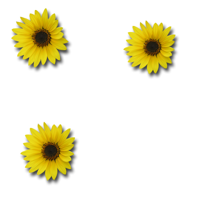 Three Sunflower Png Transparent PNG Images