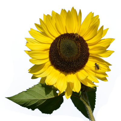 With Bug Sunflower Transparent Clipart PNG Images