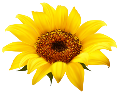 Sunflowers Transparent Background PNG Images