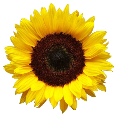Sunflowers Free Download Transparent PNG Images