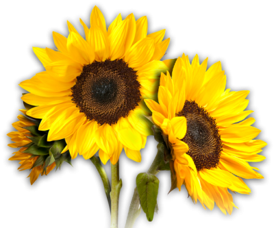 Sunflowers Transparent Picture PNG Images