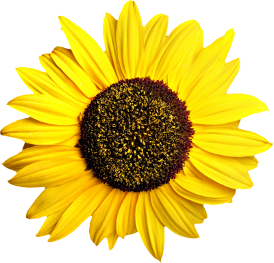 Sunflowers Clipart HD PNG Images
